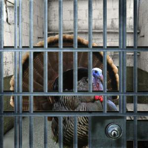 Herbert H Turkey in Jail