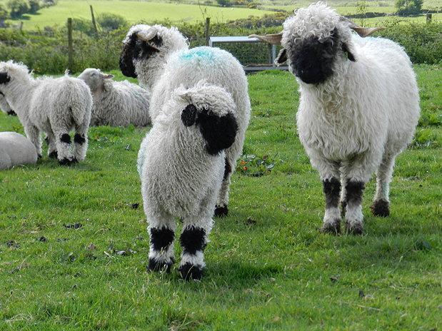 JoesDump Randomals: Sheep