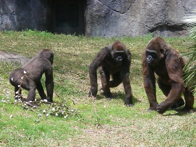 JoesDump Randomals: Gorillas