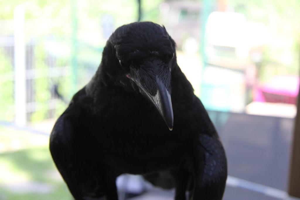 JoesDump Randomals: Crow