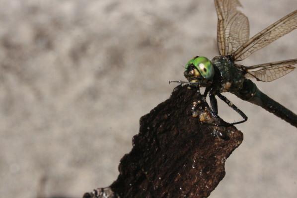 JoesDump Randomals: Dragonfly