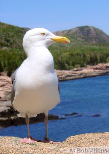 JoesDump Randomals: Gull