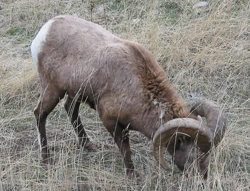 JoesDump Randomals: Bighorn Sheep