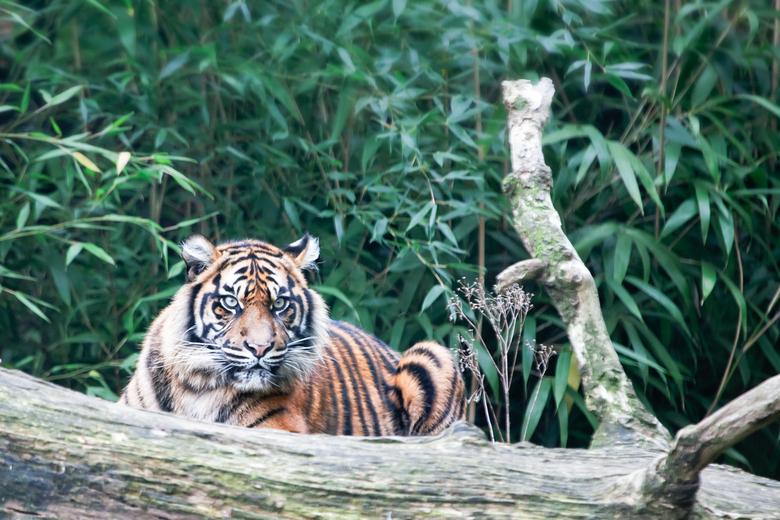 JoesDump Randomals: Tiger