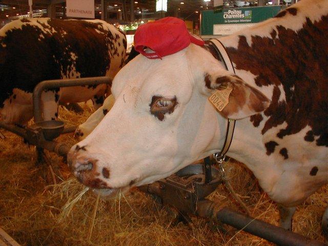 JoesDump Randomals: Cow